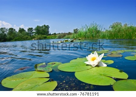 summer river with floating lily - stock photo