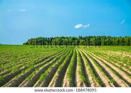 summer  rural landscape with a potato field - stock photo