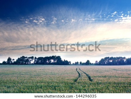 summer rye field. sunrise landscape - stock photo