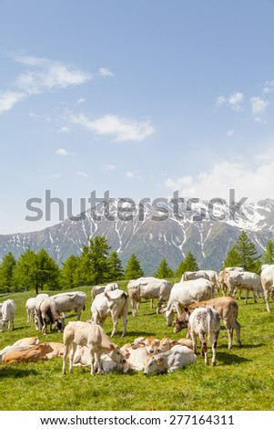 Summer season on Italian Alps. Free calf between adult cows. - stock photo