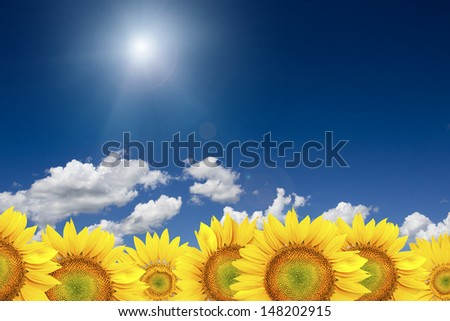 Summer sun over the sunflower field