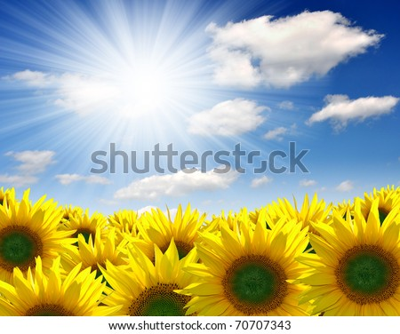 Summer sun over the sunflower field - stock photo