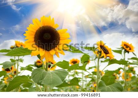 Summer sun over the sunflower field - stock photo