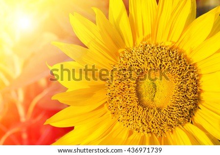 Summer sun over the sunflower field nature background - stock photo