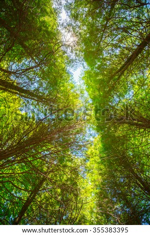 Summer Sun Shining Through Canopy Of Tall Trees. Upper Branches Of Tree. Sunlight Through Green Tree Crown - Low Angle View. - stock photo