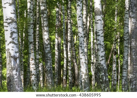 Summer sunny forest with birch trees - stock photo