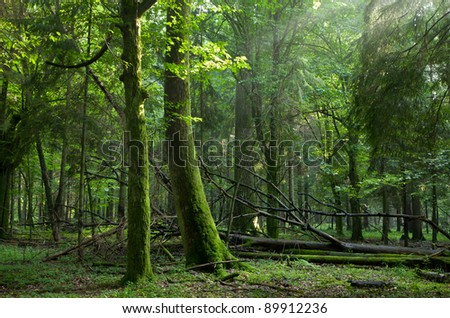 Summer sunset with light entering rich deciduous stand of Bialowieza Forest with some broken trees in foreground - stock photo
