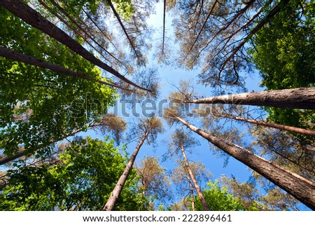Summer tall trees in mixed forest. Looking up above point of view wide angle - stock photo