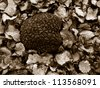 summer truffle (tuber aestivum) on a bed of slices, duo-tone image - stock photo