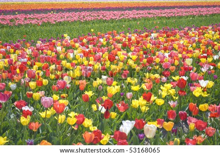 Summer Tulips Field