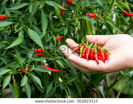 Summer vegetable garden. Gardener harvesting hot peppers. - stock ...