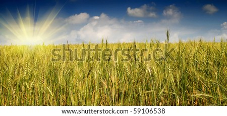 Summer view of ripe wheat and fun sun early morning. - stock photo