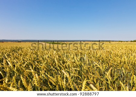 Summer wheat field - stock photo