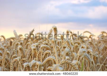 Summer wheat ready to harvest - stock photo