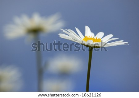 Summer wild daisies over blue sky