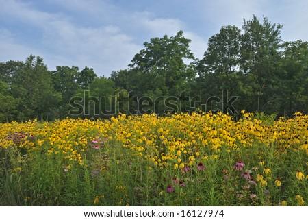 Summer wildflower prairie with yellow and purple coneflowers, Michigan, USA - stock photo