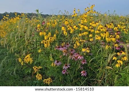 Summer wildflower prairie with yellow coneflowers, Michigan, USA - stock photo