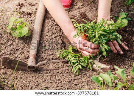 Summer work in the garden. Woman replanting marigold flowers plants outdoor - stock photo