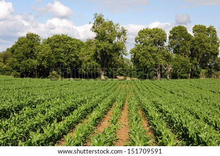 Summertime Landscape View of Lush Green Crops on Farmland