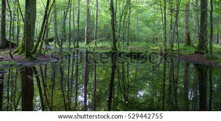Summertime linden-oak-hornbeam stand with water-hole under shady canopy of stand, Bialowieza Forest, Poland, Europe