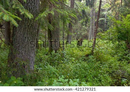 Summertime look of natural riparian stand rain after, Bialowieza Forest, Poland, Europe - stock photo