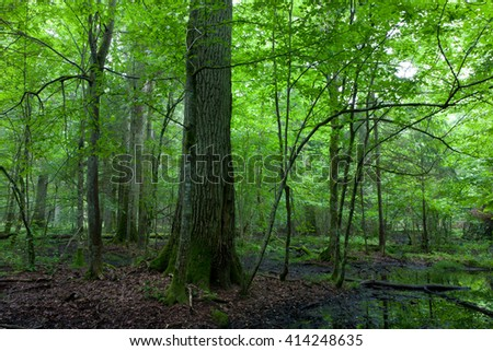 Summertime midday in wet deciduous stand of Bialowieza Forest with old lonely oak tree,Bialowieza forest,Poland,Europe - stock photo
