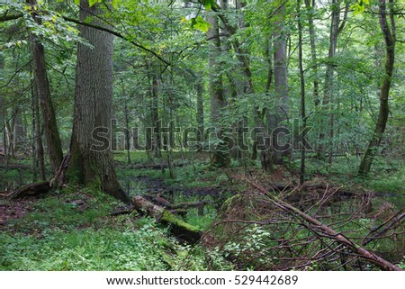Summertime midday in wet deciduous stand with standing water in foreground, Bialowieza Forest, Poland, Europe