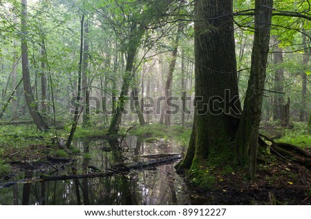 Summertime sunrise in wet deciduous stand of Bialowieza Forest with old oak tree in foreground and standing water - stock photo