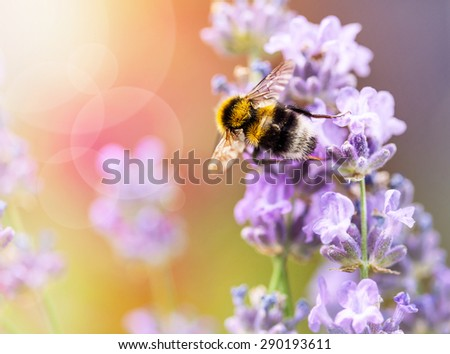 Summery flowers lavender with bee - stock photo