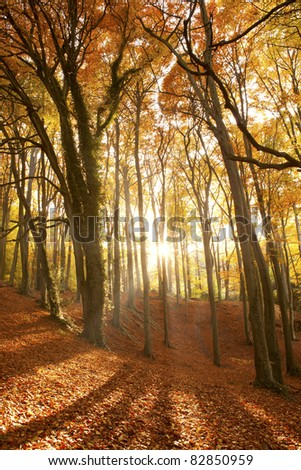Sun beaming through an autumn forest. - stock photo