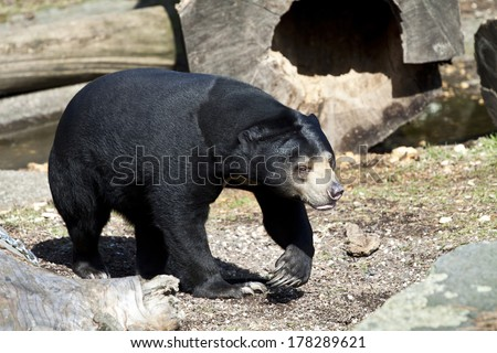 Sun Bear (Helarctos malayanus)  - stock photo