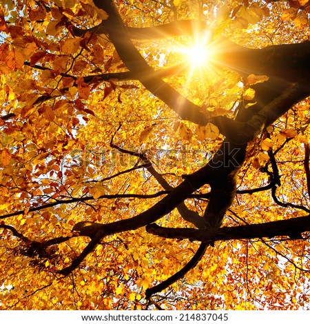 Sun beautifully shining through the branches of a large beech tree in vivid autumnal golden color - stock photo