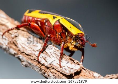 Sun beetle (fruit beetle) crawling on the branch - stock photo