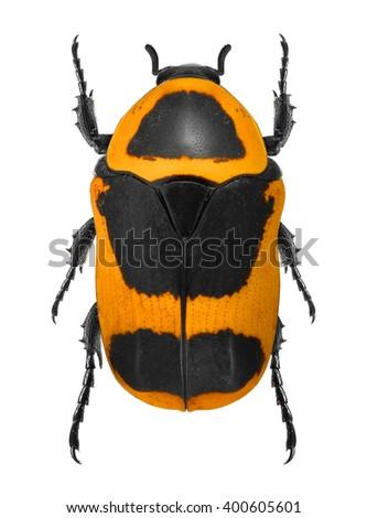 Sun Beetle (Pachnoda marginata peregrina) isolated on a white background - stock photo