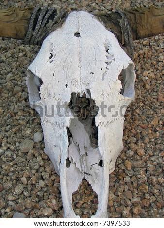 sun bleached steer skull in az - stock photo