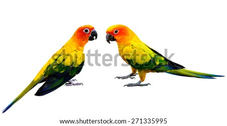Sun Conure, beautiful yellow and orange parrot birds standing on the floor isolated on white background