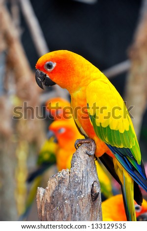 Sun Conure has a rich yellow crown, nape, mantle, lesser wing-coverts, tips of the greater wing-coverts, chest, and underwing-coverts.
