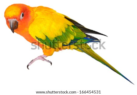 Sun Conure isolated on white background - stock photo