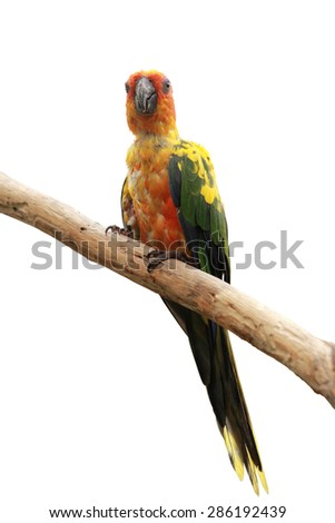 Sun Conure Parrot bird perching on a branch, white background - stock photo
