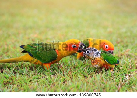 Sun Conure parrot birds' parent taking care of a baby on the grass - stock photo