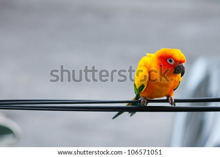 sun conure parrot on cable line - stock photo