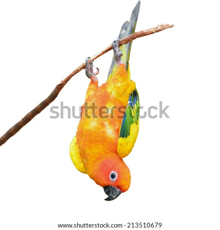 Sun Conure Parrot perching on a branch, white background - stock photo
