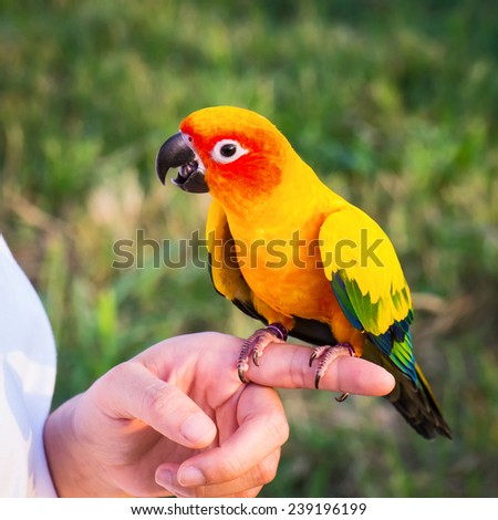 Sun Conure perched on the fingers of its owner. - stock photo