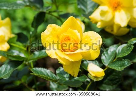 Sun Flare Rose or Violet Rose in Garden, Thailand. - stock photo