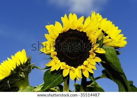 Sun flower - stock photo