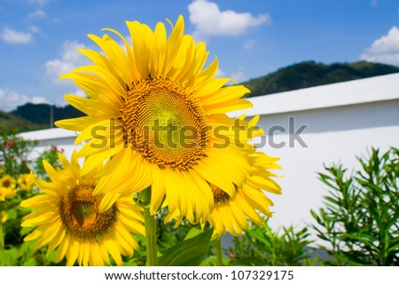 Sun flower be fence wall - stock photo