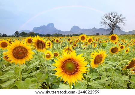 sun flower, Blooming sunflower field under blue sky and rainbow colors. - stock photo