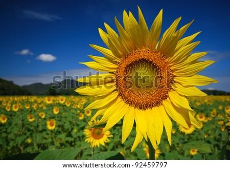 Sun Flower field - stock photo