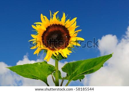 Sun flower in the garden - stock photo