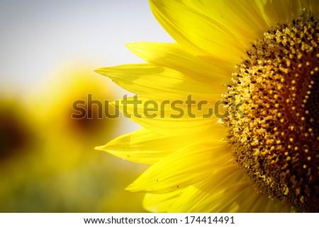 Sun Flower in the Garden Thailand - stock photo